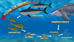 food chain with sharks and whales swimming at the top and fish at the bottom.